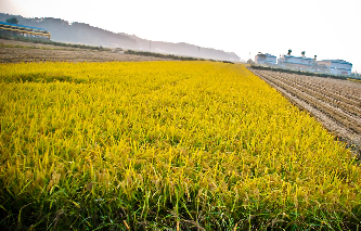 Kett Riceter for rice harvest