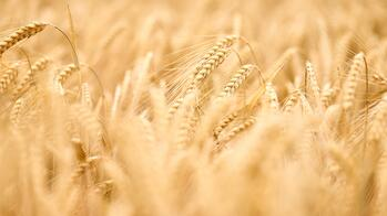 How Moisture Impacts Barley