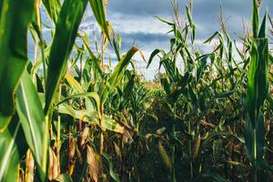 Harvesting Corn Based on Moisture Levels: What You Should Know