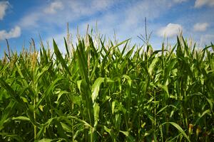 Harvest Tips for Late-Maturing Crops